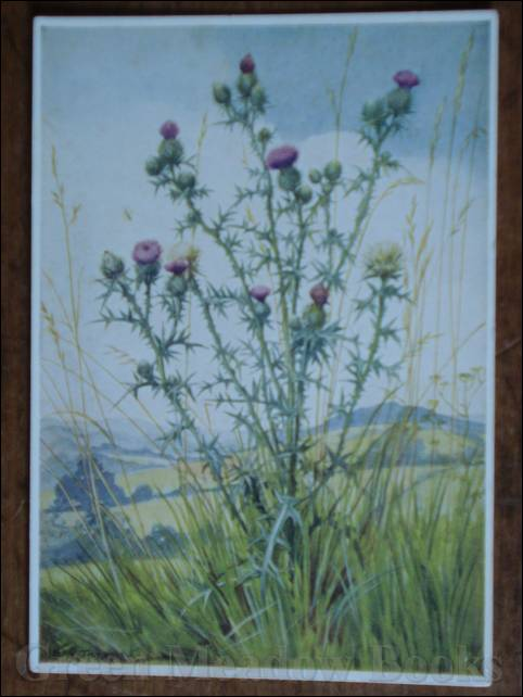 Image for WILD FLOWER SERIES: SCOTCH THISTLE
