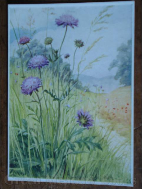 Image for WILD FLOWER SERIES: FIELD SCABIOUS